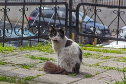 stray cat sitting in park black and white long hair wrought iron fence, stone floor, cars and street at the background, looking camera city animals in urban life