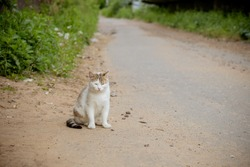 stray cat sitting on a village road. cat crosses the path. A ginger and white cat resting near the road and looking at the camera.cat with long white whiskers sitting on the road