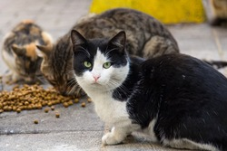 Stray cats from Istanbul eating dry food on the streets, one of the cats looking at the camera