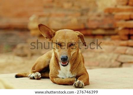 stray dog,/ Dog look crafty, flirting / dog measured.