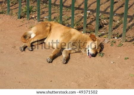 Stray dog is sleeping in the street