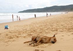 Stray dog sleeps on the beach, Karon, Thailand