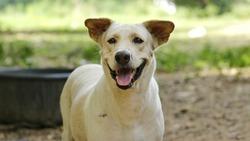 stray dog,thai dog