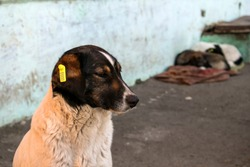 Stray dog with a yellow chip in the ear