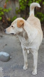 Stray dog with white and beige fur and yellow badge on its ear standing in the street.