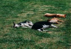Stray dogs sleep on a green lawn. Four dogs, two black and two yellow.