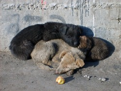 Stray dogs. Three puppies sleeping together in hard mongolian winter in Ulaanbaatar (the Capital of Mongolia). Life of stray dogs in Ulaanbaatar is very cruel. Especially during the winter.
