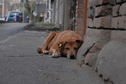 stray feral dog on a street. on the ear of a stray dog, a