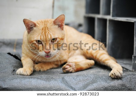 Stray Ginger Cat
