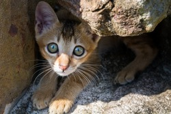 Stray kitten in Asia