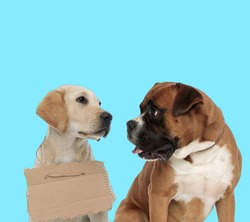 Stray Labrador Retriever wearing adoption sign and curious Boxer looking at it on blue background