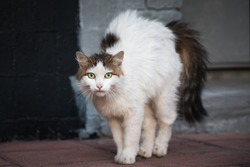 Stray long-haired white with black tail domestic cat standing with arched back and hair standing out