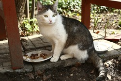 stray siberian cat eat food from plate
