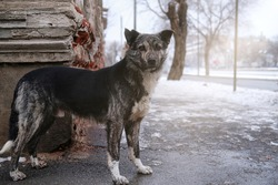 stray street dog, the danger of stray dogs attacking people with rabies