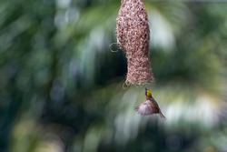 Streaked Weaver flying into the Nest (Ploceus manyar). Perak, Malaysia.