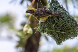 Streaked Weaver Male perched on nest (Ploceus manyar). Perak, Malaysia.