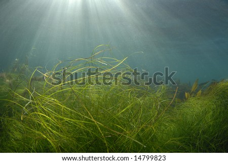 Streaks of sunlight pierce the surface of the ocean while grass and kelp wave in the currents