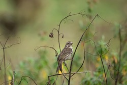 Streaky Seedeater (Crithagra striolatus), a finch bird, perched on a stem collecting twigs for its nest.