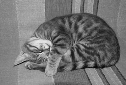 Streaky short-haired domestic cat curled up in a ball and sleeping on a striped background. Black and white photo.  Pet health. Care. Feeding. The homeless animal problem. Cat Day