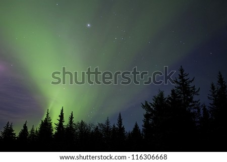 Streaming aurora borealis lights with stars and the silhouettes of spruce trees.