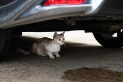 Street cat sitting under the car