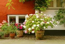 Street, Copenhagen, Denmark. Flower (geranium, hydrangea) pots are on the sidewalk in front of the house.