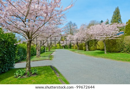 Street (pathway ) at the Cherry blossom time. Vancouver. Canada. - stock photo