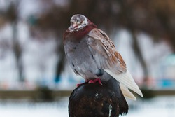 street pigeon on the street