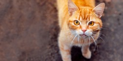 Street red cat looking at the camera on a sunny day. The problem of street animals