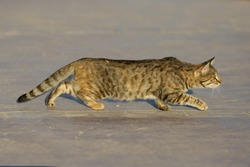Street tabby cat steals on a concrete hunting his victim