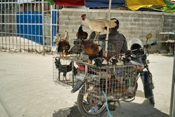 Street vendor on a motorcycle with birds. Chickens in cages under the shade of an umbrella.