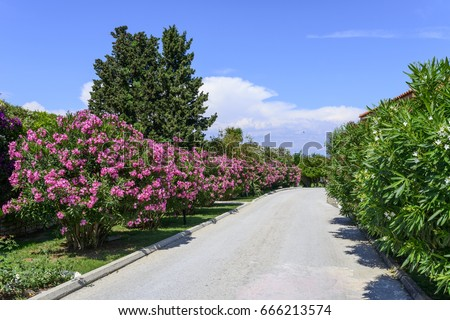 Street with oleander flowers on the island of Corfu, Greece #666213574