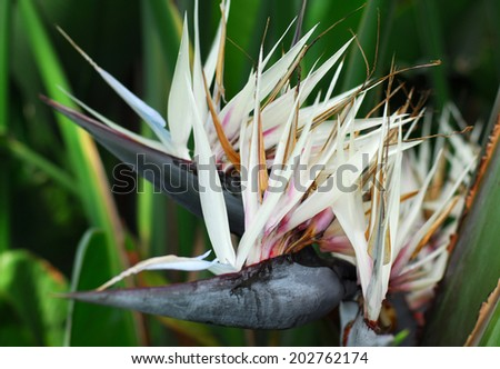 Shutterstock Strelitzia nicolai Giant White Bird of Paradise flower in bloom in spring