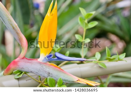 Strelitzia or Bird of paradise flower  #1428036695