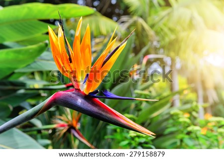 Strelitzia Reginae flower closeup (bird of paradise flower). Madeira island  #279158879