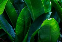 Strelitzia retinae foliage, Bird of paradise foliage (Heliconia leaf)Tropical leaf texture in garden,abstract nature green background.