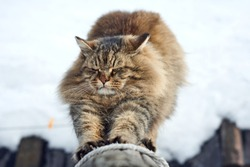 stretch paws sharpening siberian cat on log look