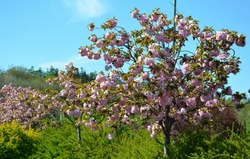 Stretched crown, branches falling like a parasol, very elegant. Young leaves bronze, then green; very numerous bright pink flowers, double, grouped into dense clusters. solitary tree in the alleys,