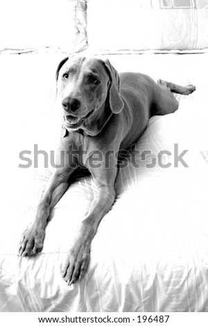Stretched-out Weimaraner