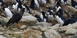 Striated caracara (Phalcoboenus australis) monitoring a Southern Rockhopper penguin rookery (Eudyptes chrysocome), New Island, Falkland Islands, British Overseas Territory