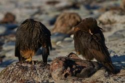Striated Caracara (Phalcoboenus australis) on the coast of Sea Lion Island in the Falkland Islands.