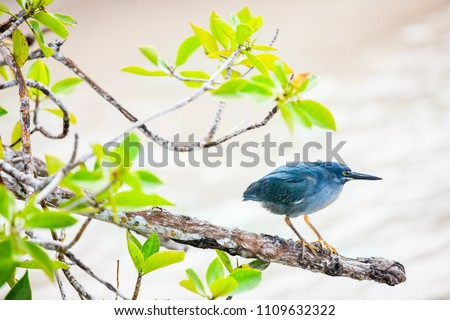 Striated heron also known as mangrove heron in Galapagos islands