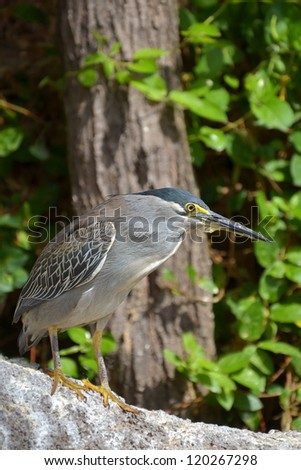 Striated Heron bird in nature #120267298
