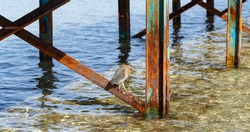 Striated heron (Butorides striata) also known as mangrove heron, little heron or green-backed heron. The bird hides in the metal piles of the pontoon.