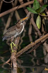 Striated Heron (Butorides striata) also known as the Mangrove Heron, in mangroves at Elizabeth Bay on the island of Isabela in the Galapagos Islands, Ecuador.