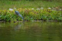 striated heron catching fish at Jurong Lake Gardens