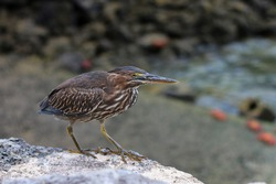 Striated Heron in the Galápagos