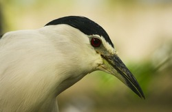 Striated heron or green backed heron close up. portrait of Pond heron bird on Hunting filed.