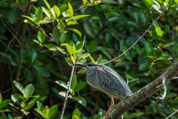 Striated heron perching on the tree.