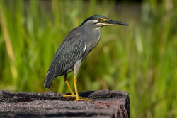 Striated heron standing near the shore.